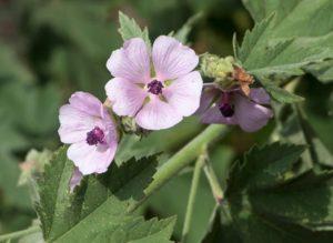 fleur-de-guimauve